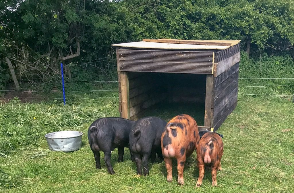 our pigs eating