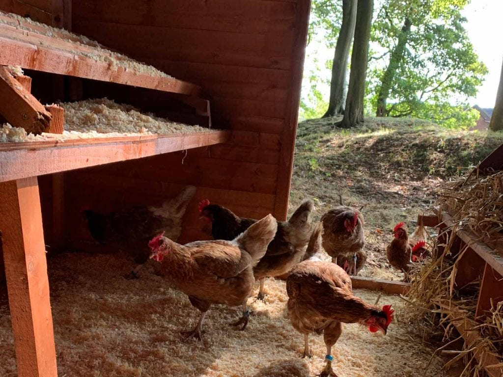 hens in new woodland shed